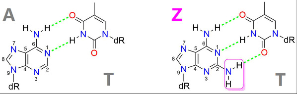 iHuman team and collaborators unveiled the Z-genome Biosynthetic Pathway