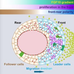 SLST Lab Discovers a New Mechanism of Vertebrate Epithelium Collective Migration