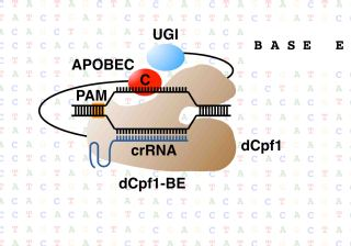 Base editing with a Cpf1– cytidine deaminase fusion