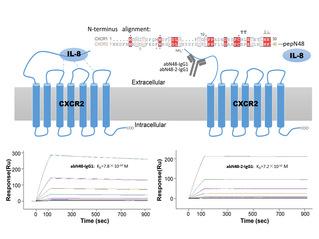 免化所团队在G蛋白偶联受体靶点治疗性抗体开发研究中取得突破