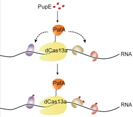CRUIS Captures RNA-Protein Interaction