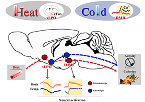 Researchers Reveal a Neural Mechanism for Body Temperature Regulation